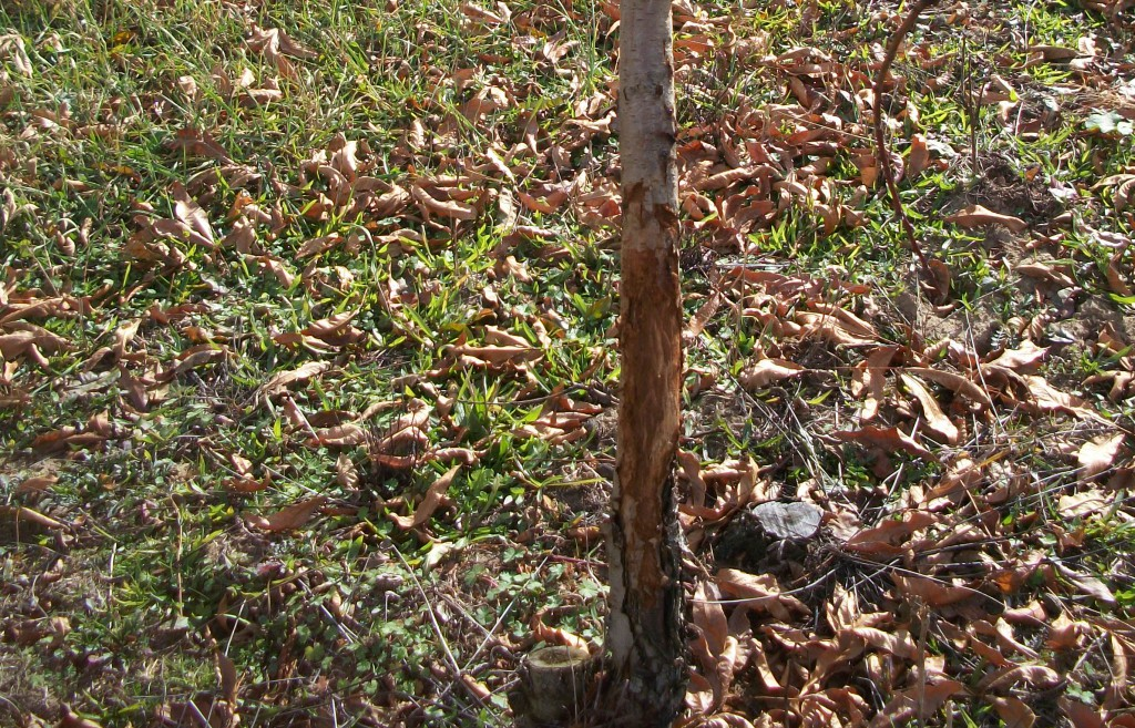 Orchards - tree browse-rub damage